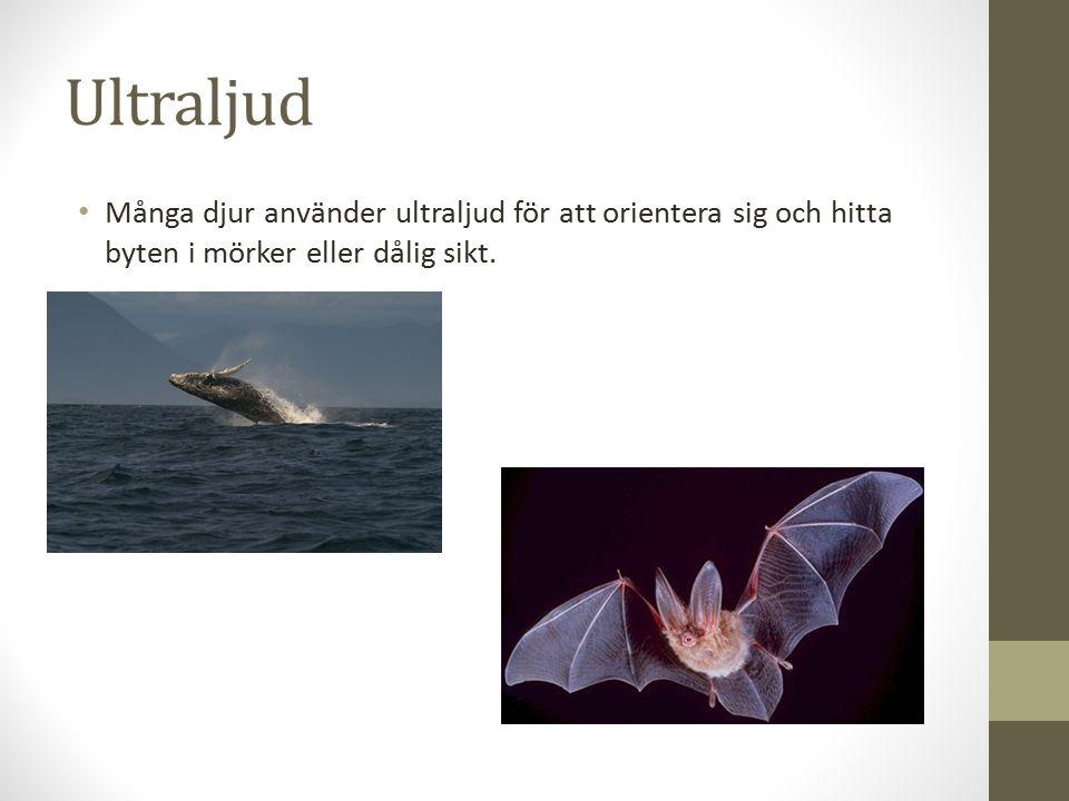 Ultraljud Många djur använder ultraljud för att orientera sig och hitta byten i mörker eller dålig sikt.