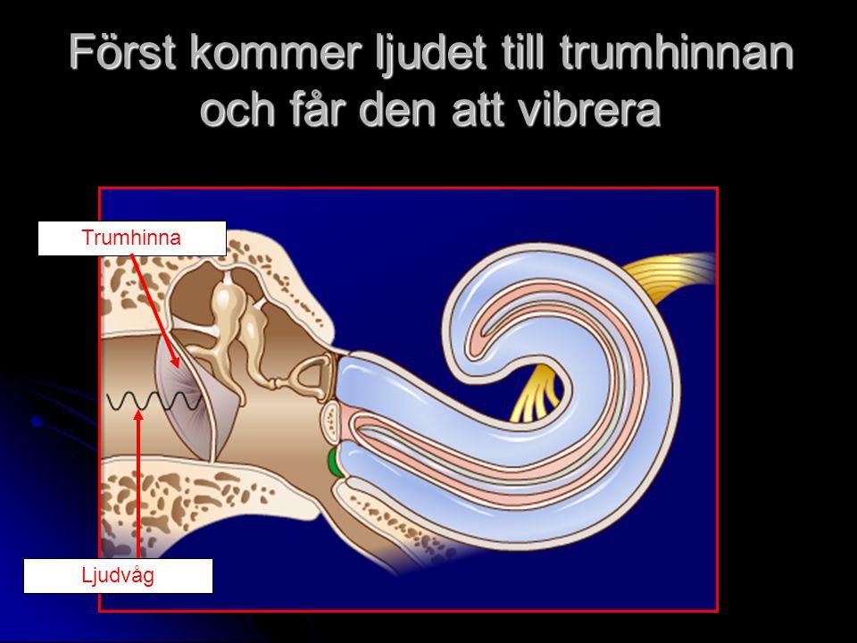 Först kommer ljudet till trumhinnan och får den att vibrera Trumhinna Ljudvåg