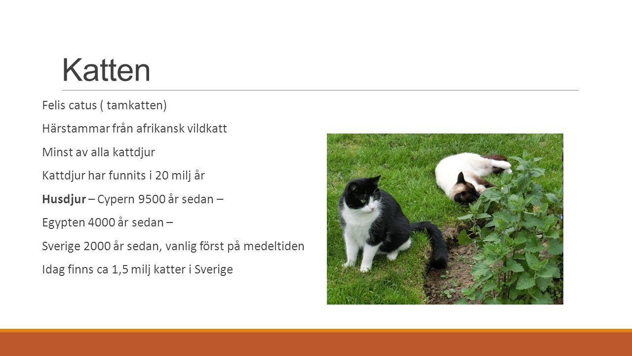 Katten Felis catus ( tamkatten) Härstammar från afrikansk vildkatt Minst av alla kattdjur Kattdjur har funnits i 20 milj år Husdjur – Cypern 9500 år sedan – Egypten 4000 år sedan – Sverige 2000 år sedan, vanlig först på medeltiden Idag finns ca 1,5 milj katter i Sverige