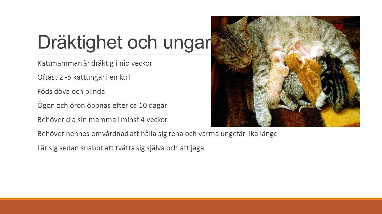 Dräktighet och ungar Kattmamman är dräktig i nio veckor Oftast 2 -5 kattungar i en kull Föds döva och blinda Ögon och öron öppnas efter ca 10 dagar Behöver dia sin mamma i minst 4 veckor Behöver hennes omvårdnad att hålla sig rena och varma ungefär lika länge Lär sig sedan snabbt att tvätta sig själva och att jaga