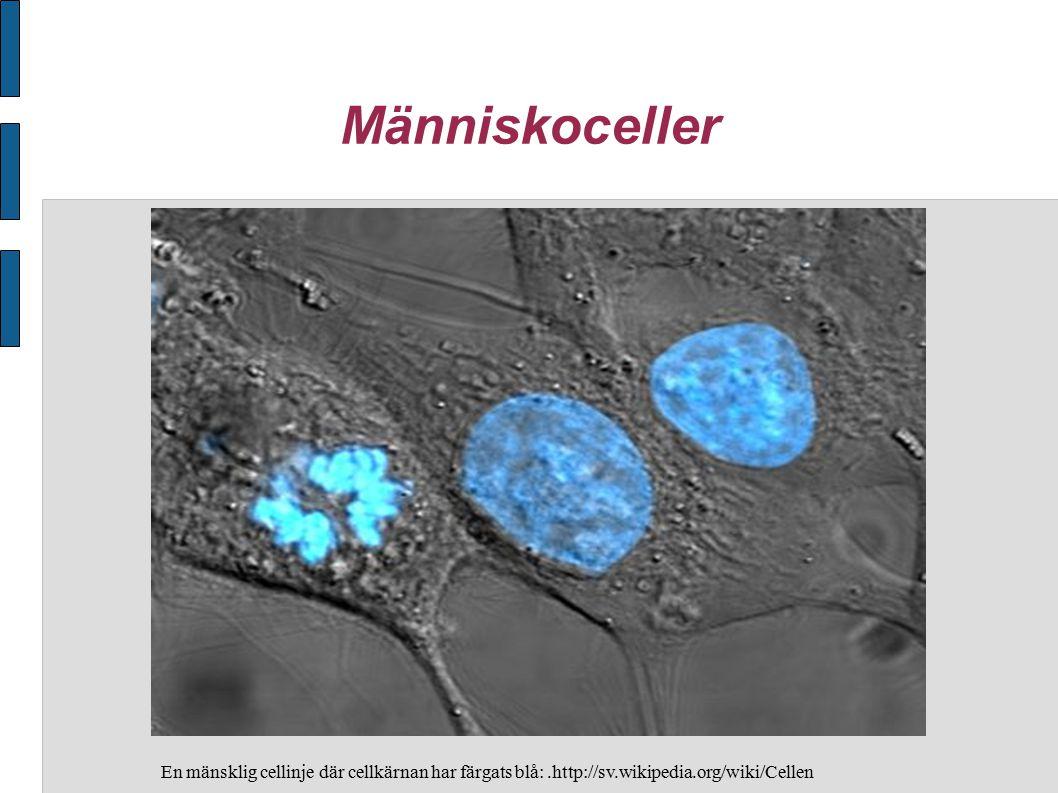 Människoceller En mänsklig cellinje där cellkärnan har färgats blå:.http://sv.wikipedia.org/wiki/Cellen