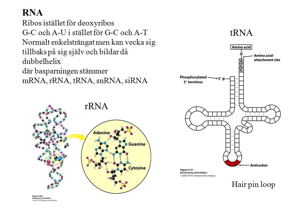 RNA Ribos istället för deoxyribos G-C och A-U i stället för G-C och A-T Normalt enkelsträngat men kan vecka sig tillbaks på sig själv och bildar då du