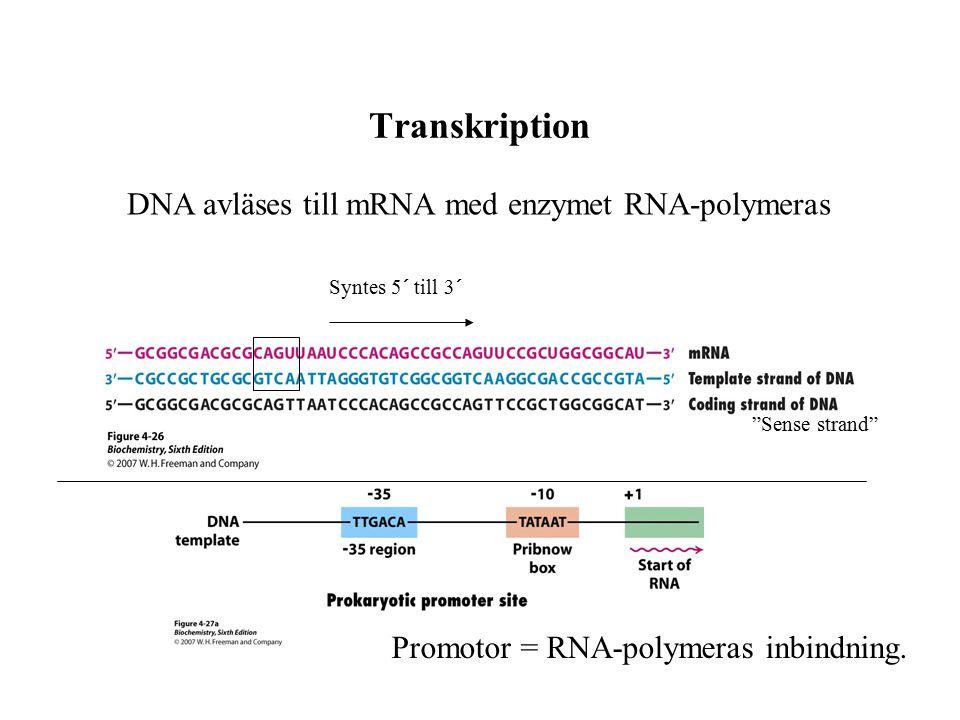 """Transkription DNA avläses till mRNA med enzymet RNA-polymeras Promotor = RNA-polymeras inbindning. """"Sense strand"""" Syntes 5´ till 3´"""