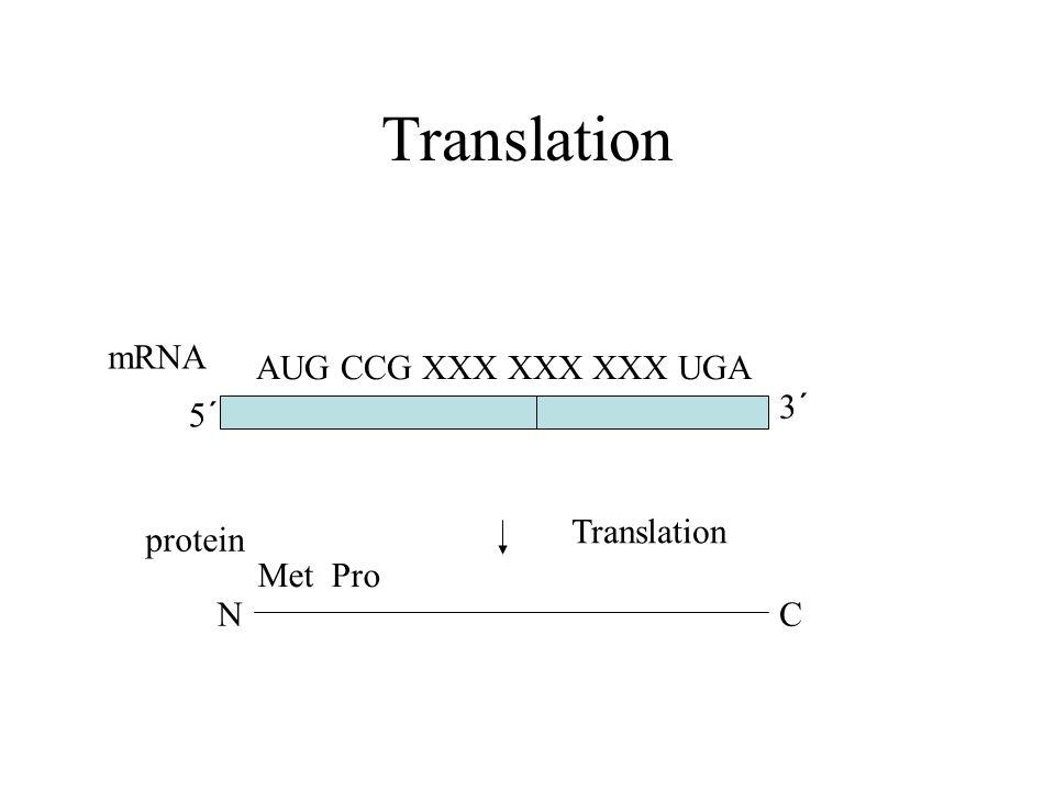 Translation 5´ NC Translation 3´ mRNA protein AUG CCG XXX XXX XXX UGA Met Pro