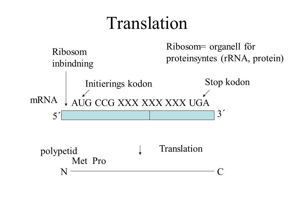 Translation 5´ NC Translation 3´ mRNA polypetid AUG CCG XXX XXX XXX UGA Met Pro Stop kodon Initierings kodon Ribosom inbindning Ribosom= organell för