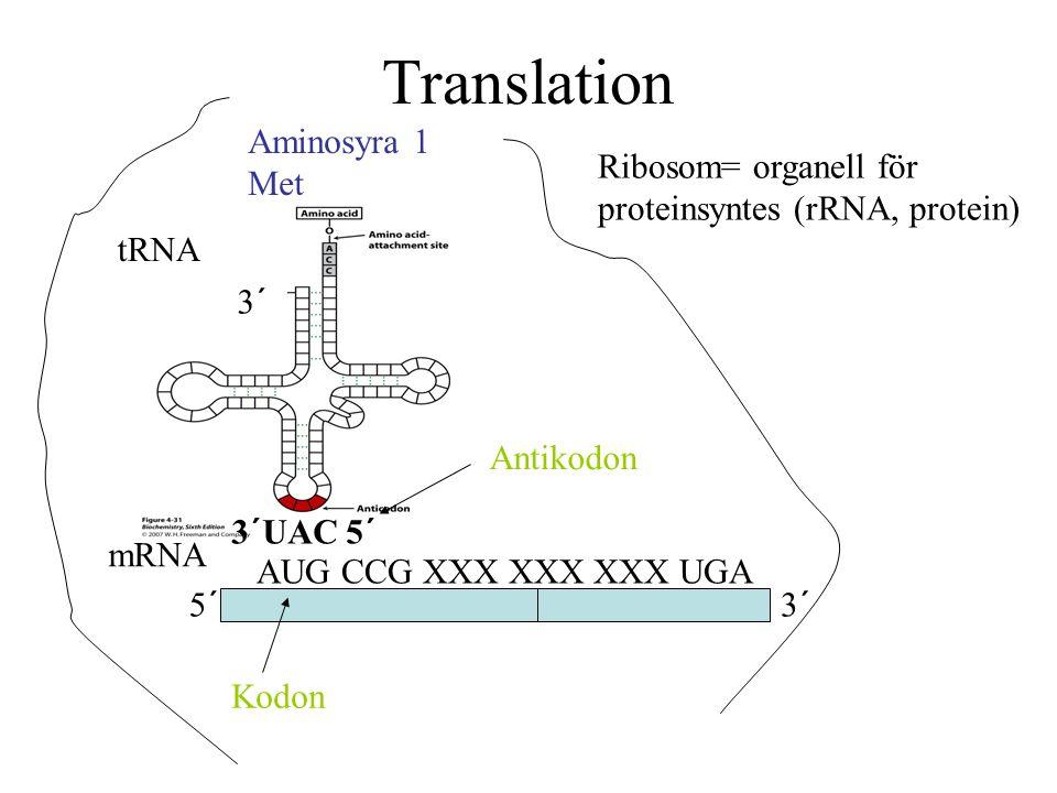 Translation 5´3´ mRNA AUG CCG XXX XXX XXX UGA Ribosom= organell för proteinsyntes (rRNA, protein) tRNA Aminosyra 1 Met 3´ 3´UAC 5´ Kodon Antikodon