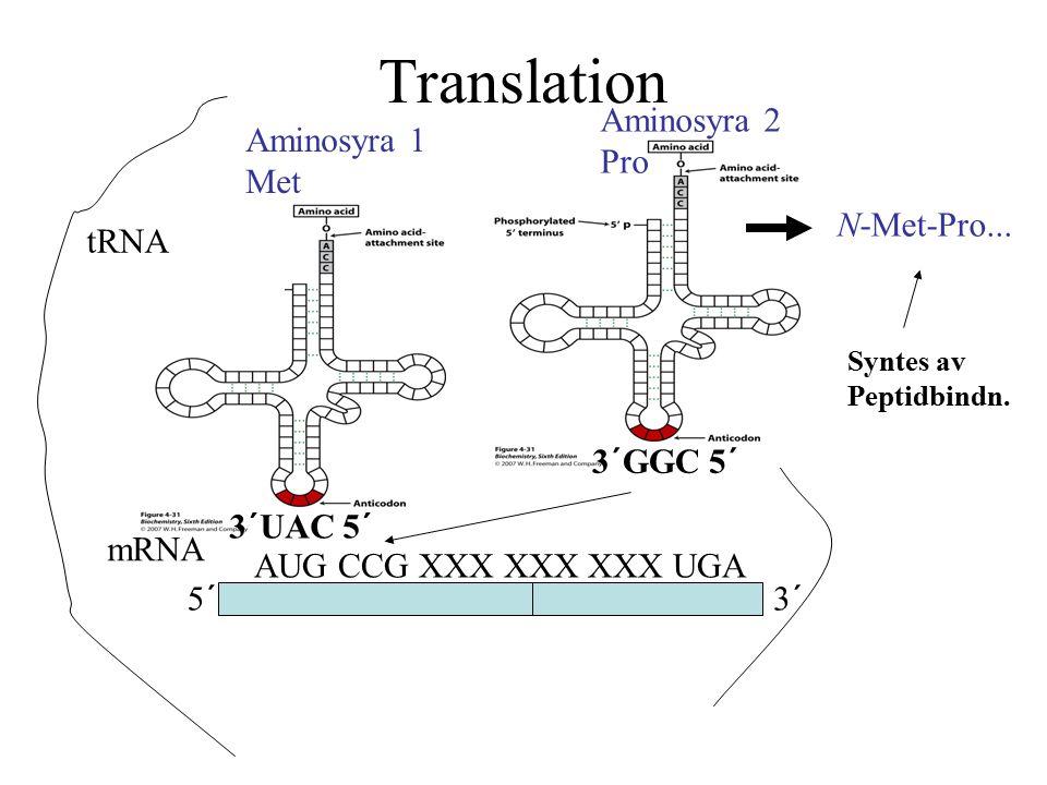 Translation 5´3´ mRNA AUG CCG XXX XXX XXX UGA tRNA Aminosyra 1 Met 3´UAC 5´ 3´GGC 5´ Aminosyra 2 Pro N-Met-Pro... Syntes av Peptidbindn.