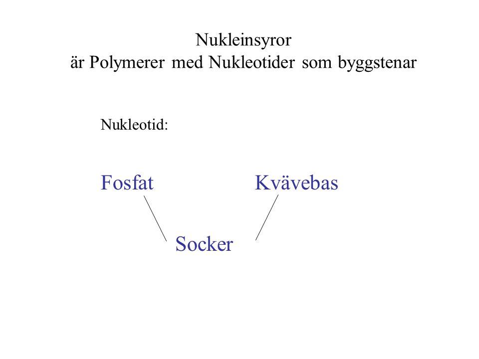 Flera nukeotider bildar en polymer, en polynukleotid, dvs en sträng av RNA eller DNA Polymerens stomme:....fosfat-socker-fosfat-socker....