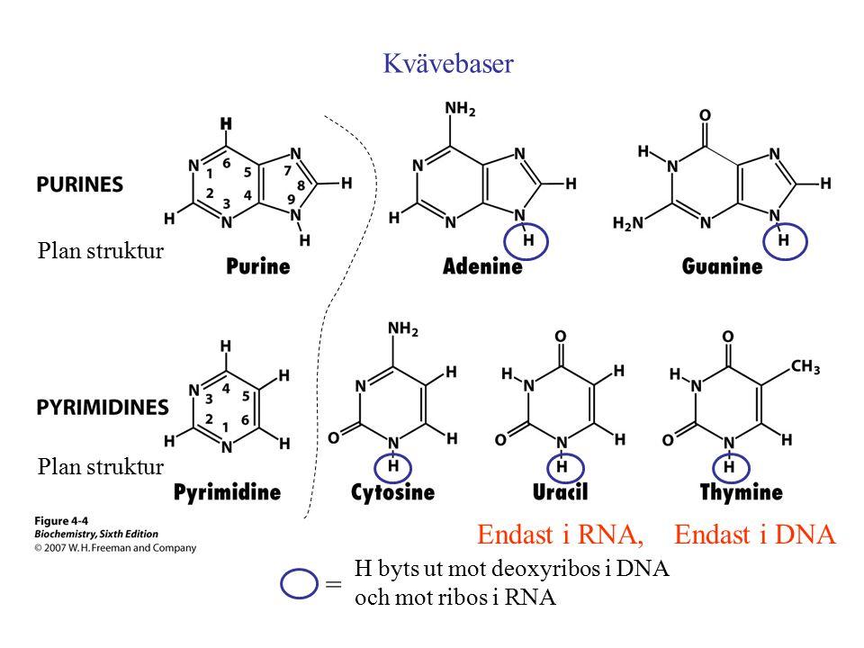 Endast i RNA, Endast i DNA Kvävebaser H byts ut mot deoxyribos i DNA och mot ribos i RNA = Plan struktur