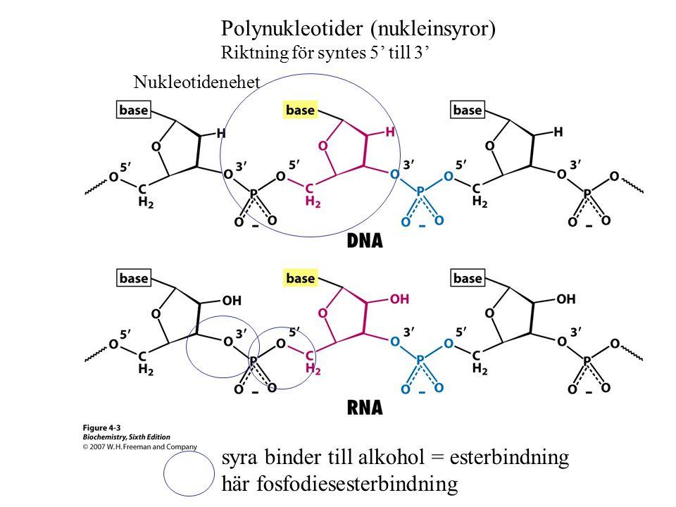 Polynukleotider (nukleinsyror) Riktning för syntes 5' till 3' syra binder till alkohol = esterbindning här fosfodiesesterbindning Nukleotidenehet
