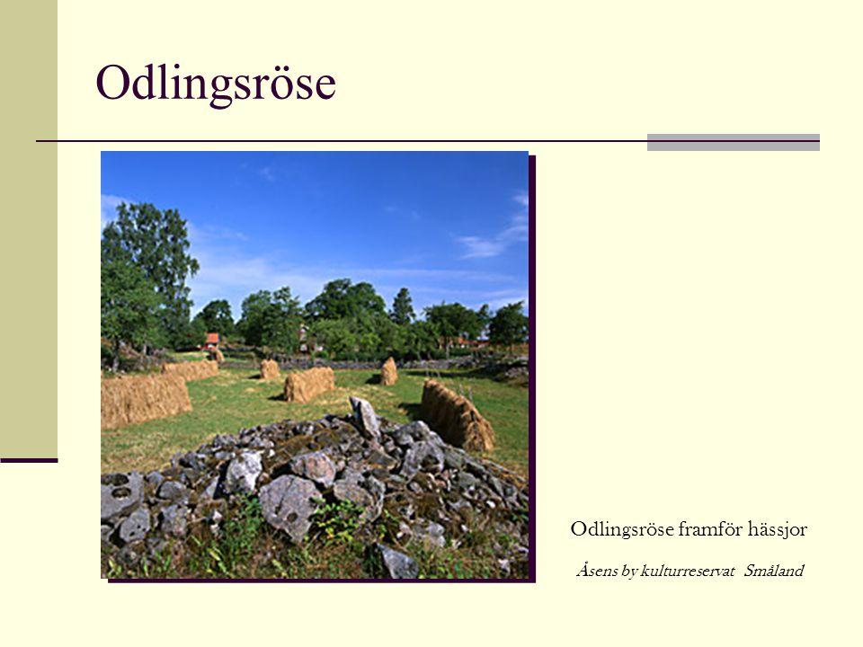 Odlingsröse Odlingsröse framför hässjor Åsens by kulturreservat Småland