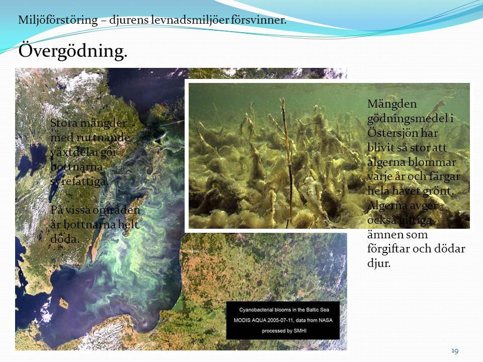 Miljöförstöring – djurens levnadsmiljöer försvinner. Övergödning. Mängden gödningsmedel i Östersjön har blivit så stor att algerna blommar varje år oc