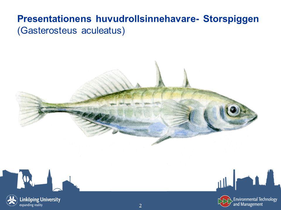 2 Presentationens huvudrollsinnehavare- Storspiggen (Gasterosteus aculeatus)