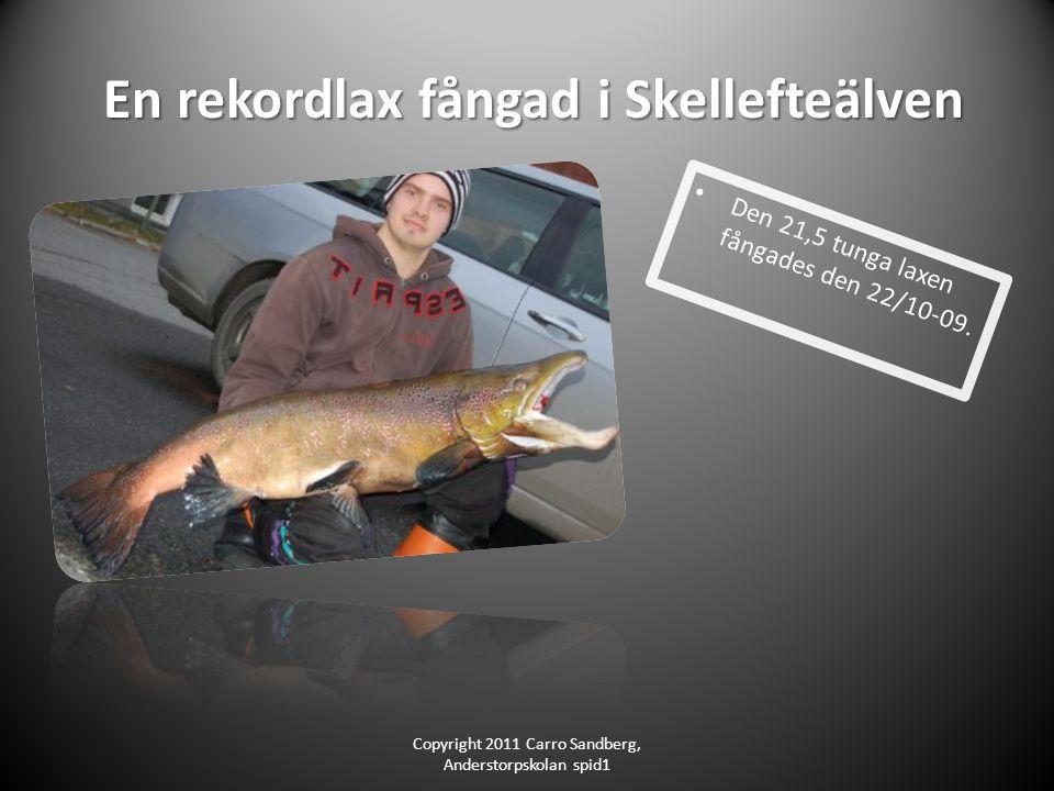 En rekordlax fångad i Skellefteälven En rekordlax fångad i Skellefteälven Den 21,5 tunga laxen fångades den 22/10-09.