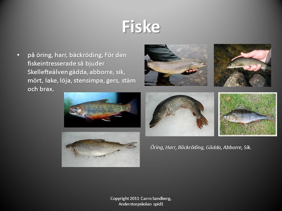 Fiske på öring, harr, bäckröding, För den fiskeintresserade så bjuder Skellefteälven gädda, abborre, sik, mört, lake, löja, stensimpa, gers, stäm och brax.