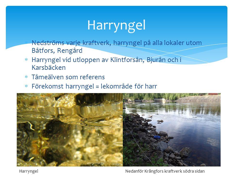  Nedströms varje kraftverk, harryngel på alla lokaler utom Båtfors, Rengård  Harryngel vid utloppen av Klintforsån, Bjurån och i Karsbäcken  Tåmeäl