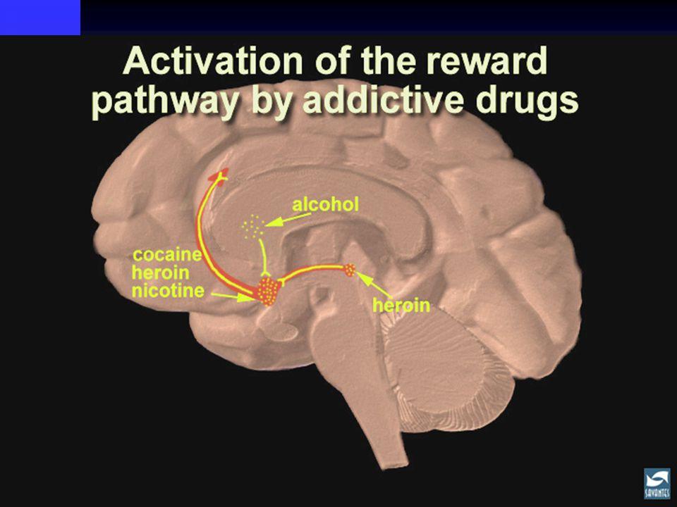 Vid ADHD I hjärnan skapas ett område med störningar i dopaminreglering som är förknippad med minskad uppfattning om belöning och förvärrad kognition I hjärnan skapas ett område med störningar i dopaminreglering som är förknippad med minskad uppfattning om belöning och förvärrad kognition