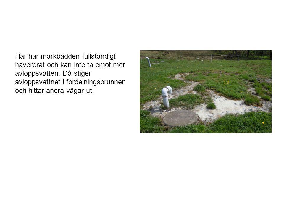 Här har markbädden fullständigt havererat och kan inte ta emot mer avloppsvatten. Då stiger avloppsvattnet i fördelningsbrunnen och hittar andra vägar