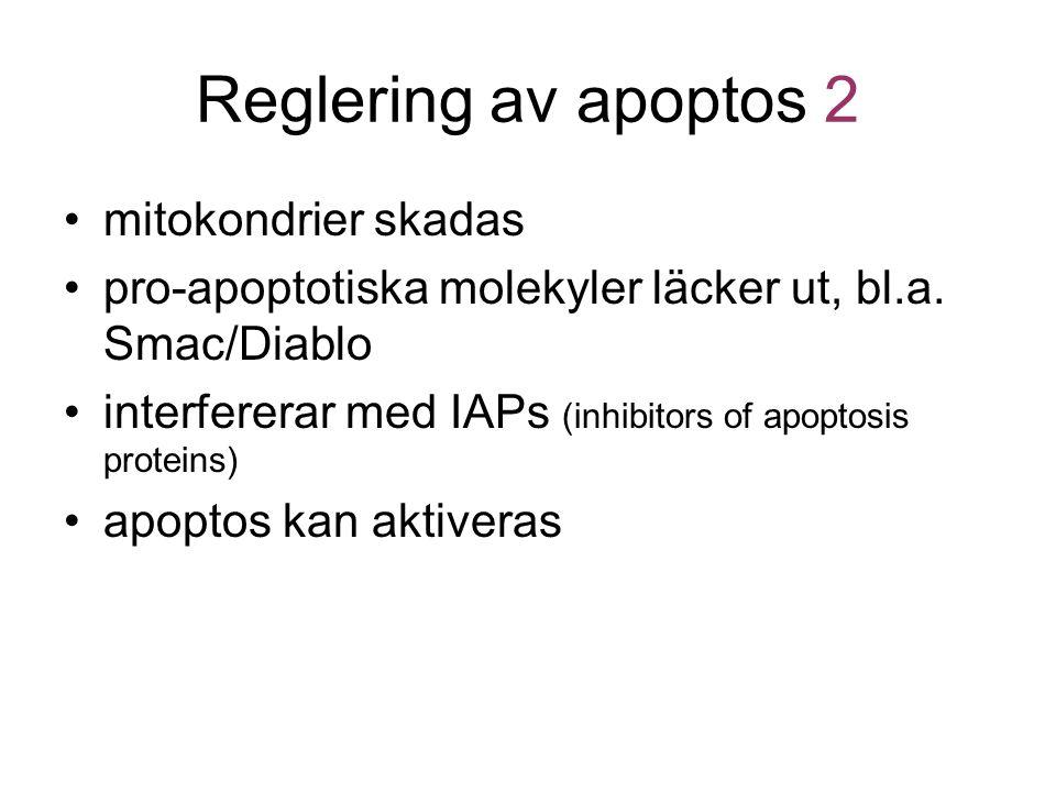 Reglering av apoptos 2 mitokondrier skadas pro-apoptotiska molekyler läcker ut, bl.a. Smac/Diablo interfererar med IAPs (inhibitors of apoptosis prote