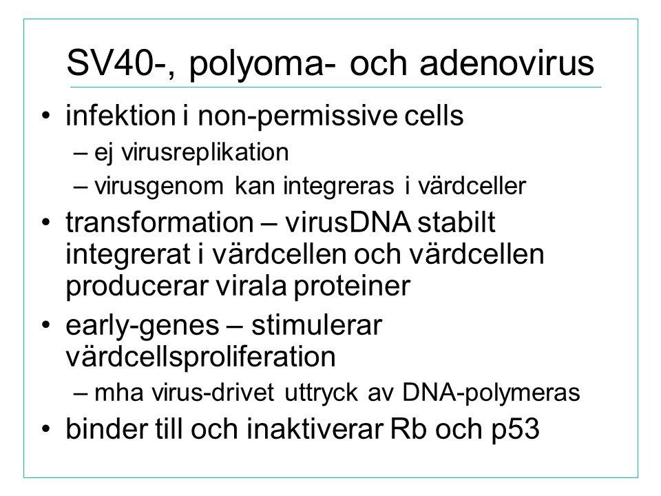 SV40-, polyoma- och adenovirus infektion i non-permissive cells –ej virusreplikation –virusgenom kan integreras i värdceller transformation – virusDNA