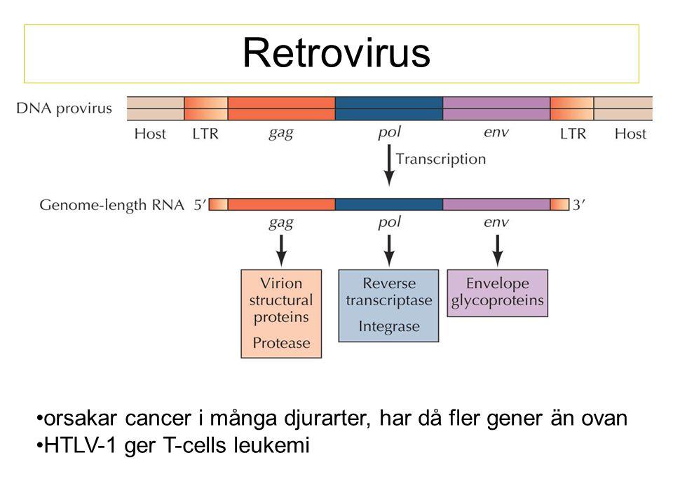 Retrovirus orsakar cancer i många djurarter, har då fler gener än ovan HTLV-1 ger T-cells leukemi