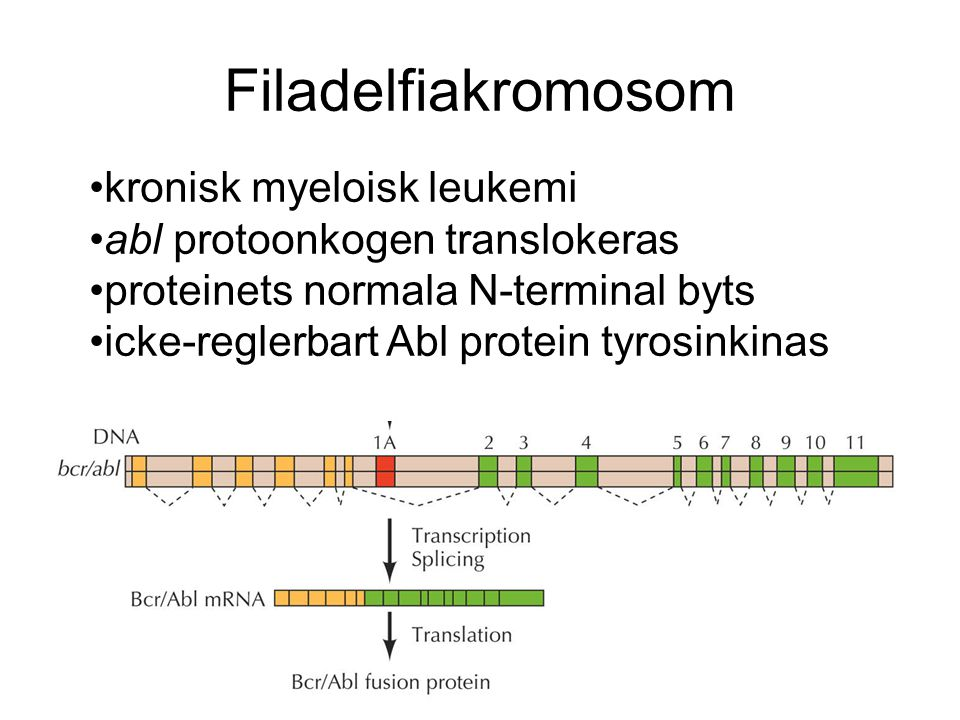 Filadelfiakromosom kronisk myeloisk leukemi abl protoonkogen translokeras proteinets normala N-terminal byts icke-reglerbart Abl protein tyrosinkinas