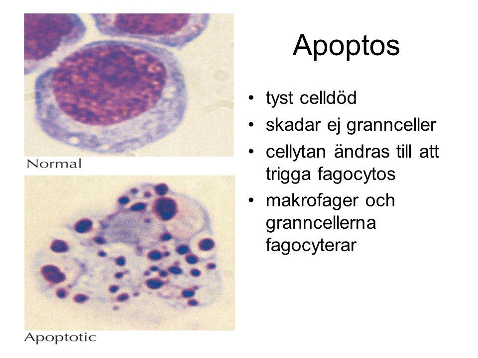 Apoptos tyst celldöd skadar ej grannceller cellytan ändras till att trigga fagocytos makrofager och granncellerna fagocyterar
