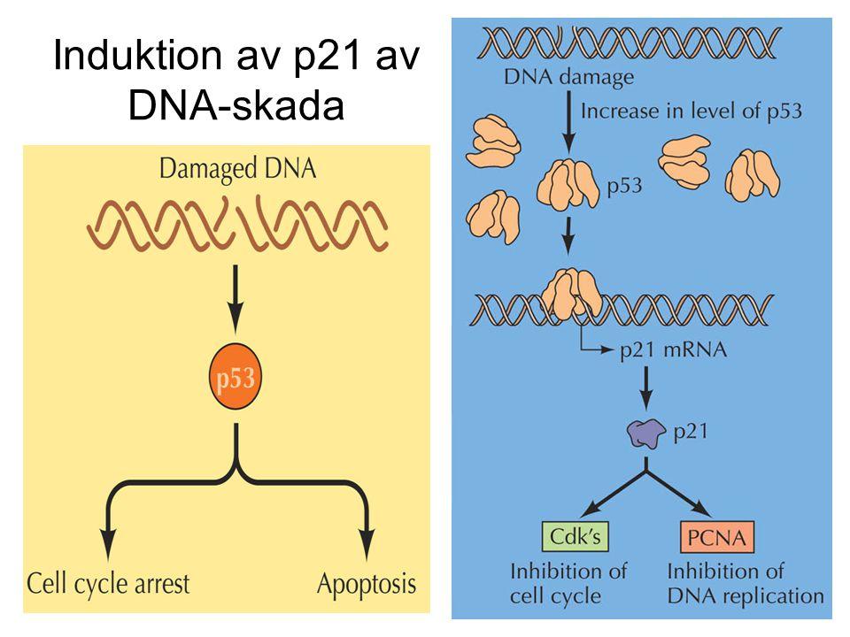 Induktion av p21 av DNA-skada