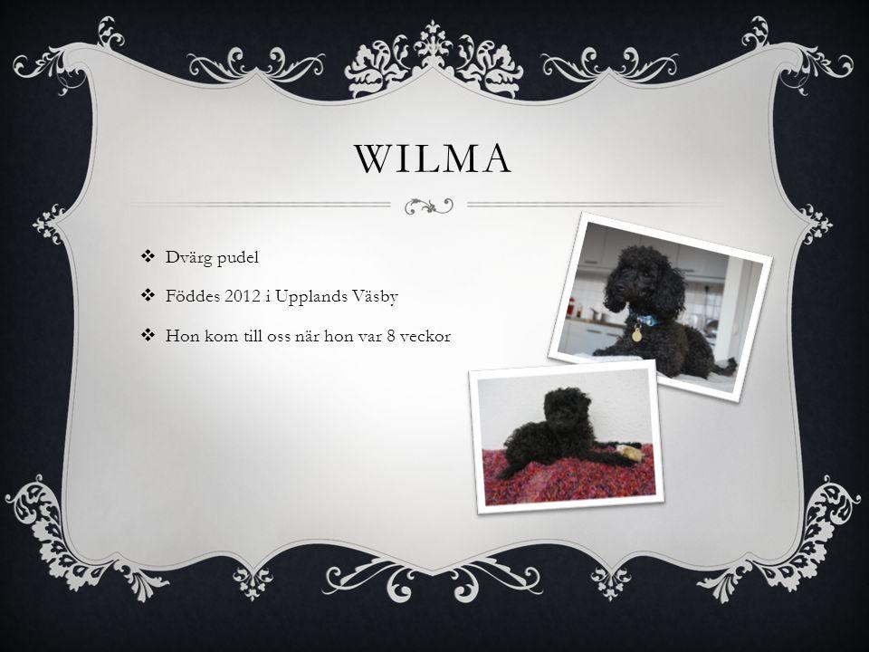 WILMA  Dvärg pudel  Föddes 2012 i Upplands Väsby  Hon kom till oss när hon var 8 veckor