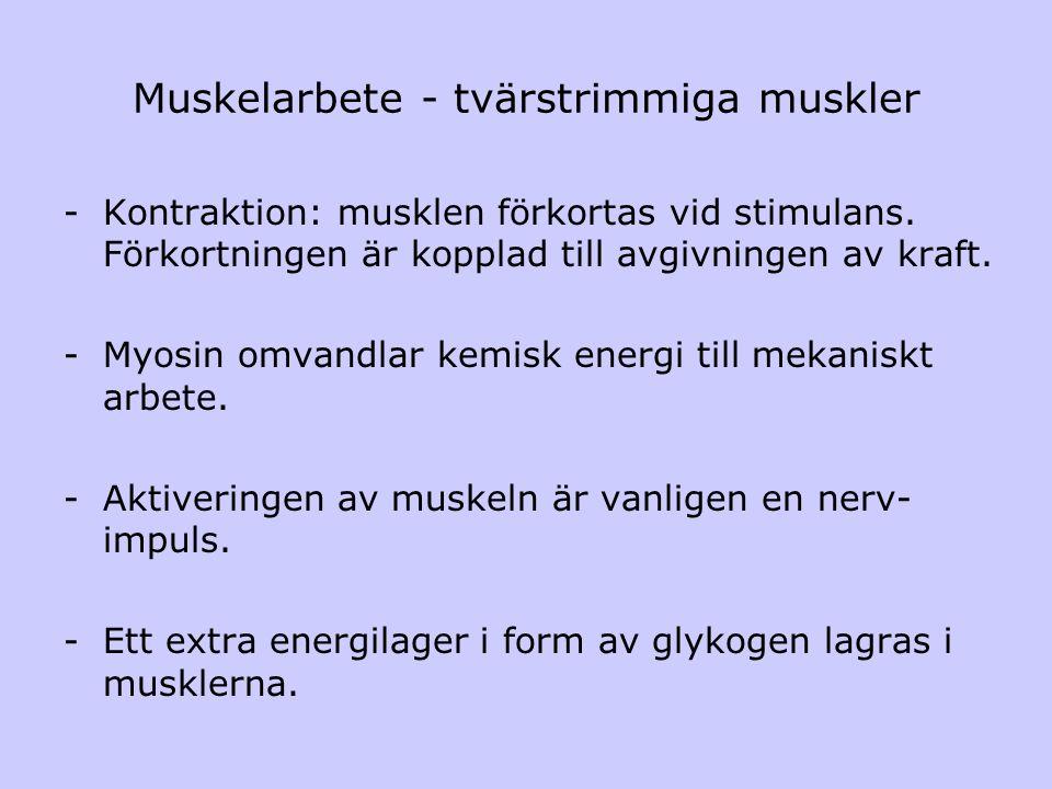 Muskelarbete - tvärstrimmiga muskler -Kontraktion: musklen förkortas vid stimulans. Förkortningen är kopplad till avgivningen av kraft. -Myosin omvand