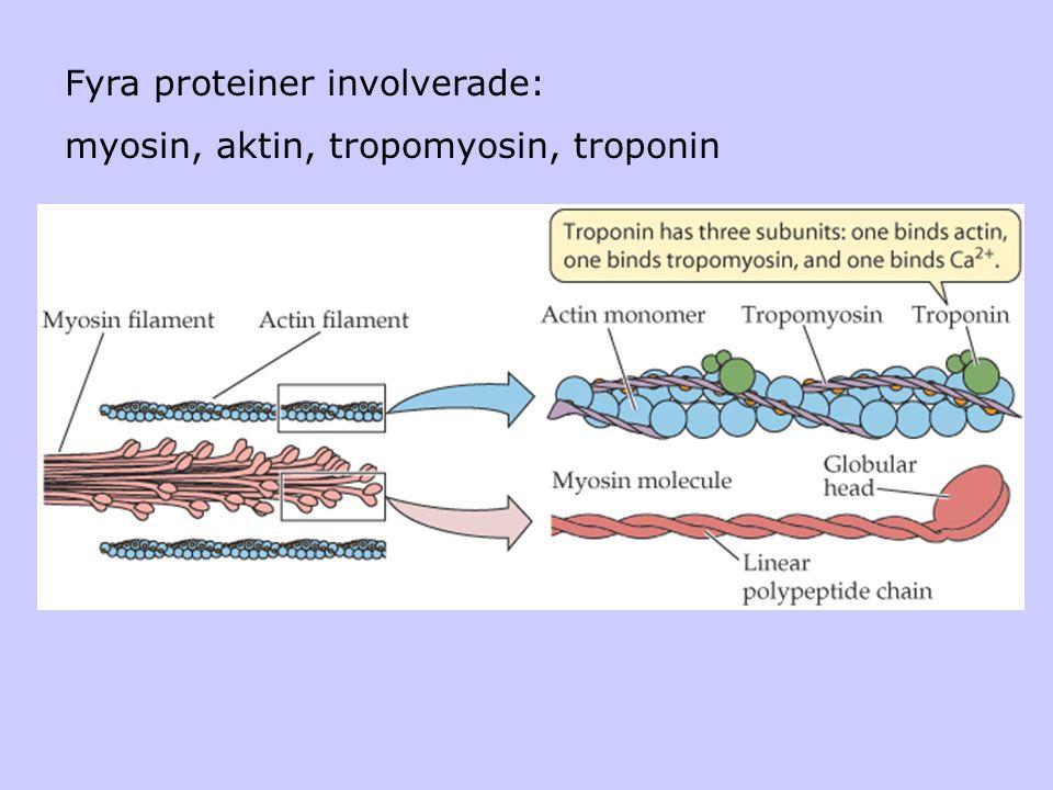 Fyra proteiner involverade: myosin, aktin, tropomyosin, troponin