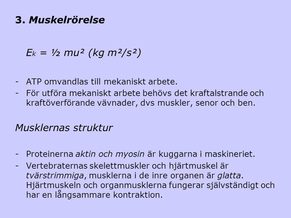 3. Muskelrörelse E k = ½ mu² (kg m²/s²) -ATP omvandlas till mekaniskt arbete. -För utföra mekaniskt arbete behövs det kraftalstrande och kraftöverföra