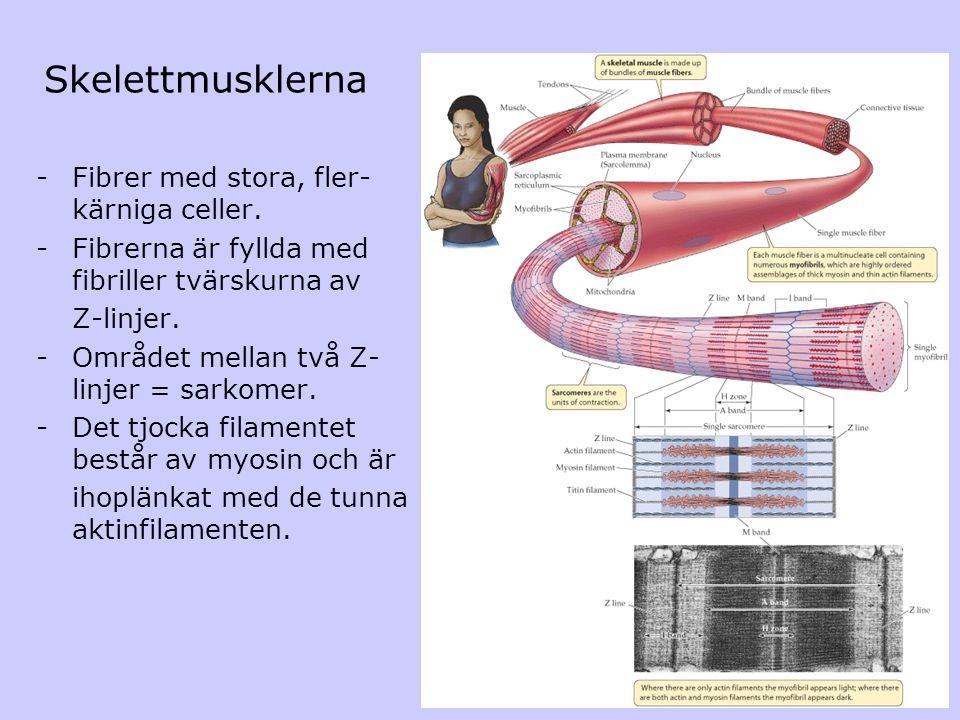 Skelettmusklerna -Fibrer med stora, fler- kärniga celler. -Fibrerna är fyllda med fibriller tvärskurna av Z-linjer. -Området mellan två Z- linjer = sa