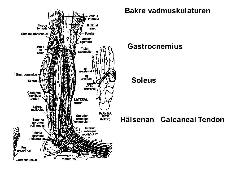 Gastrocnemius Soleus HälsenanCalcaneal Tendon Bakre vadmuskulaturen