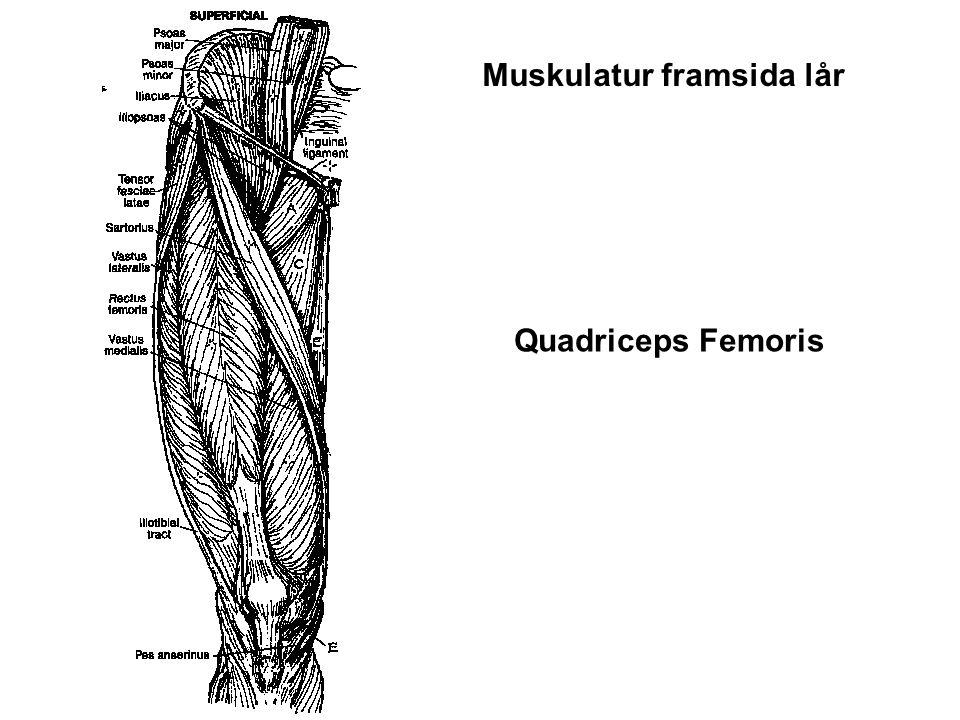 Quadriceps Femoris Muskulatur framsida lår