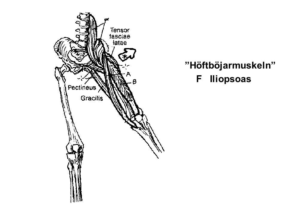 "F Iliopsoas ""Höftböjarmuskeln"""