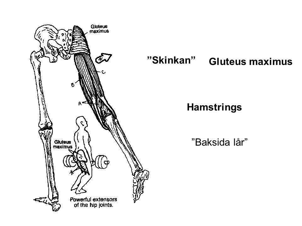 """""""Skinkan"""" Gluteus maximus Hamstrings """"Baksida lår"""""""