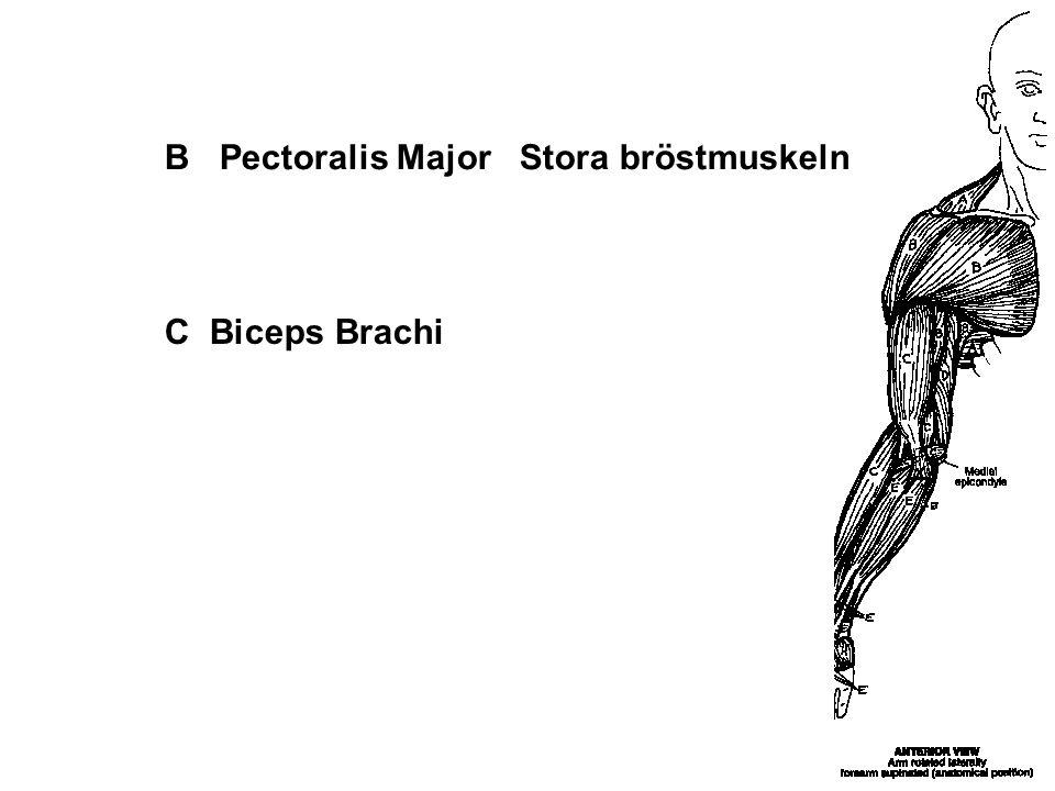 B Pectoralis Major Stora bröstmuskeln C Biceps Brachi