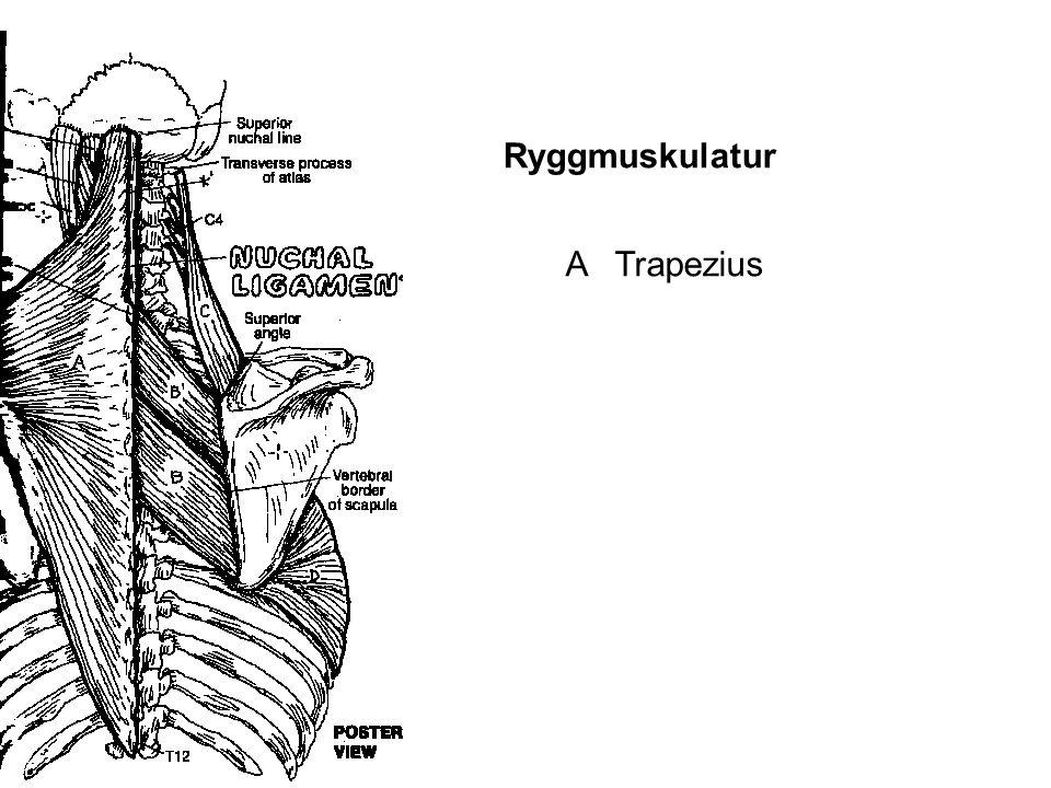 A Trapezius Ryggmuskulatur