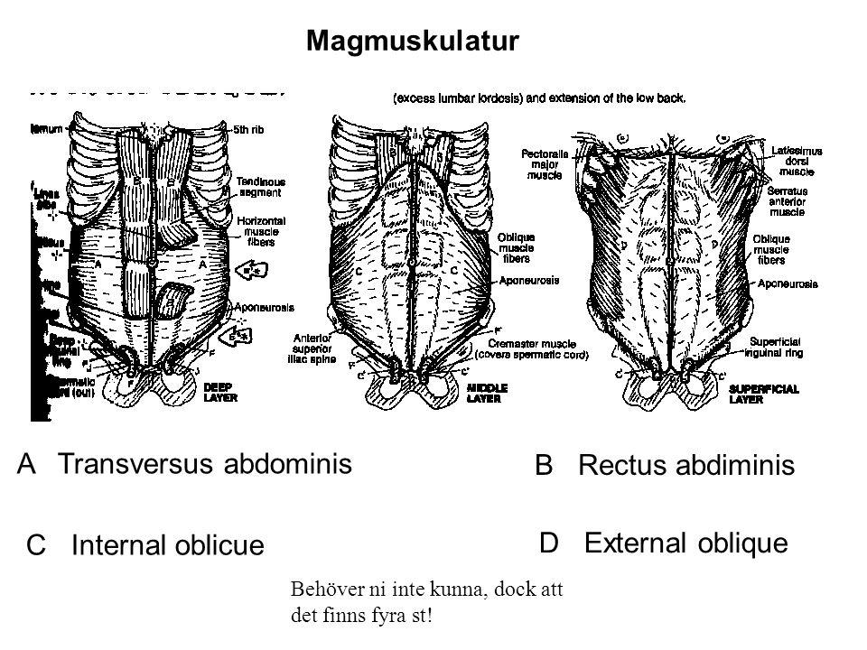 Magmuskulatur A Transversus abdominis B Rectus abdiminis C Internal oblicue D External oblique Behöver ni inte kunna, dock att det finns fyra st!