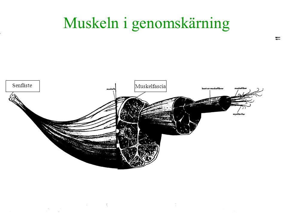 Muskeln i genomskärning Muskelfascia Senfäste