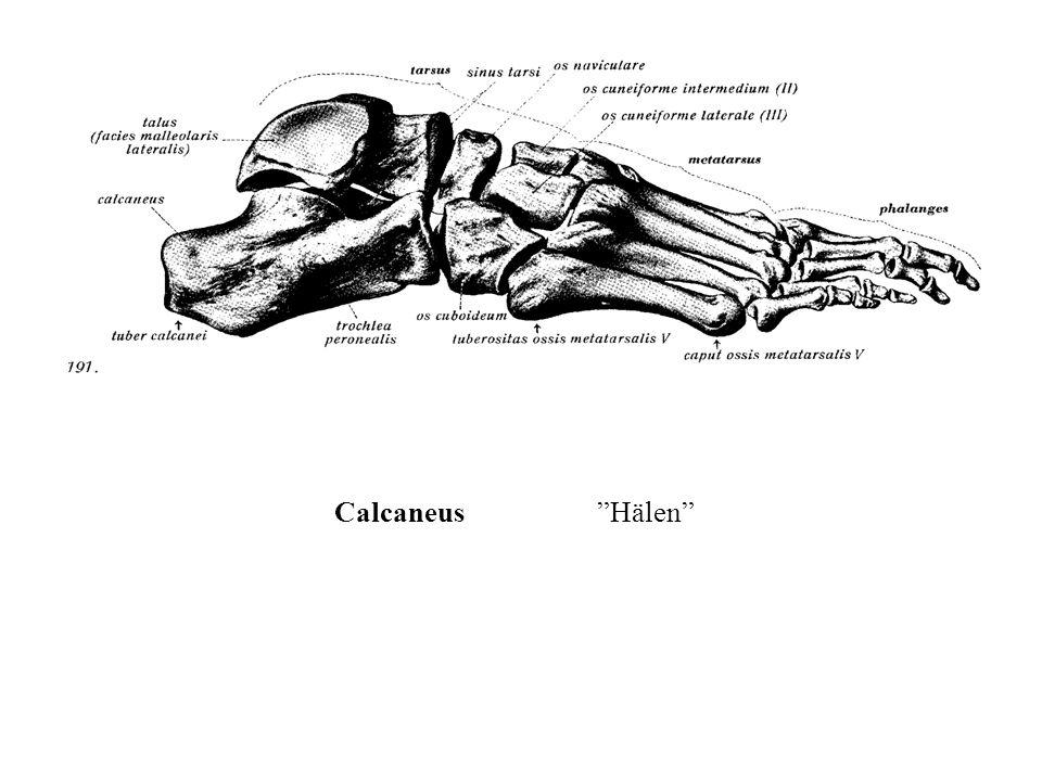 """Calcaneus""""Hälen"""""""