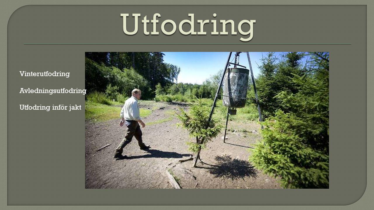 Vinterutfodring Avledningsutfodring Utfodring inför jakt