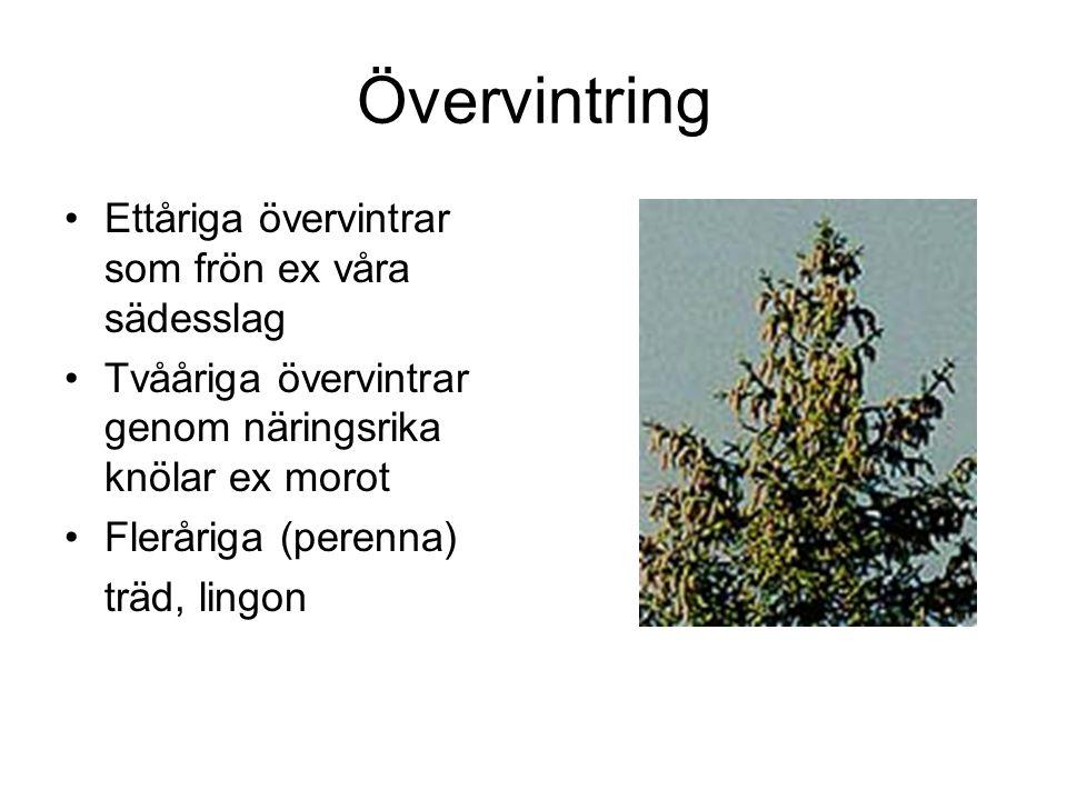 Övervintring Ettåriga övervintrar som frön ex våra sädesslag Tvååriga övervintrar genom näringsrika knölar ex morot Fleråriga (perenna) träd, lingon