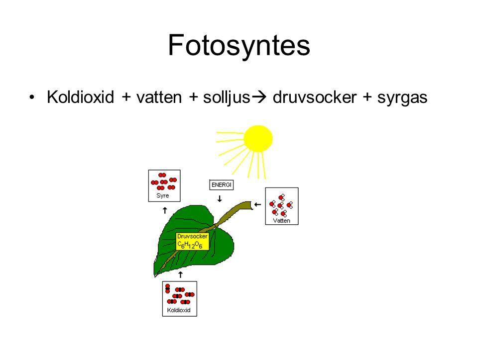 Fotosyntes Koldioxid + vatten + solljus  druvsocker + syrgas