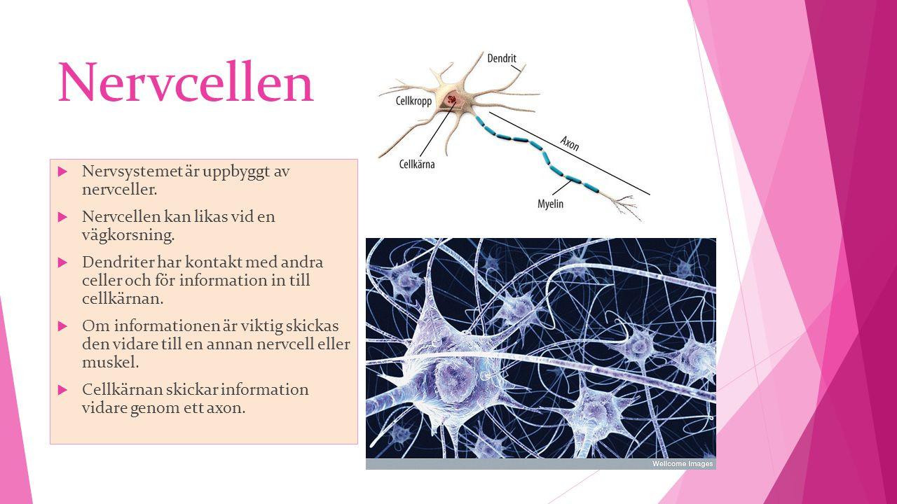 Nervcellen  Nervsystemet är uppbyggt av nervceller.  Nervcellen kan likas vid en vägkorsning.  Dendriter har kontakt med andra celler och för infor