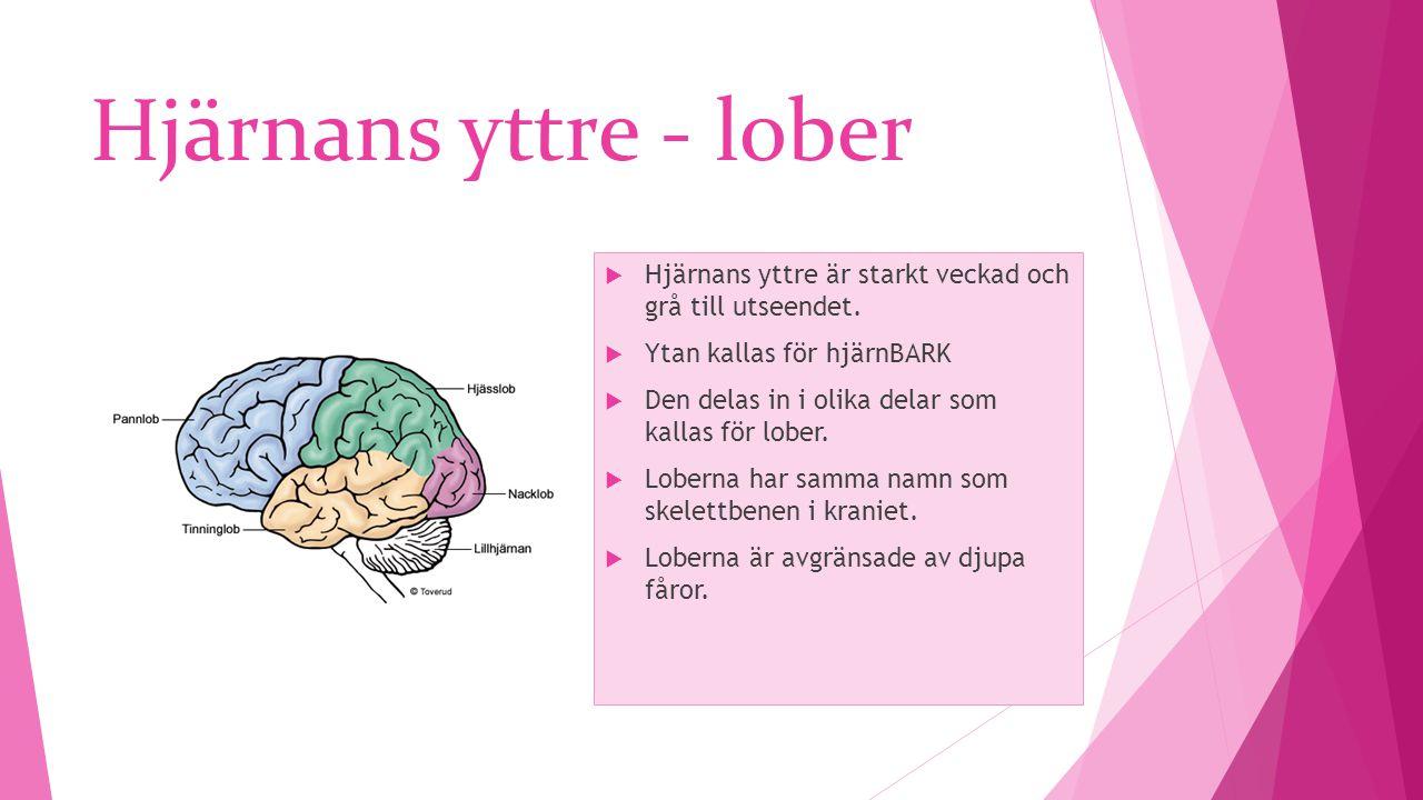Hjärnans yttre - lober  Hjärnans yttre är starkt veckad och grå till utseendet.  Ytan kallas för hjärnBARK  Den delas in i olika delar som kallas f