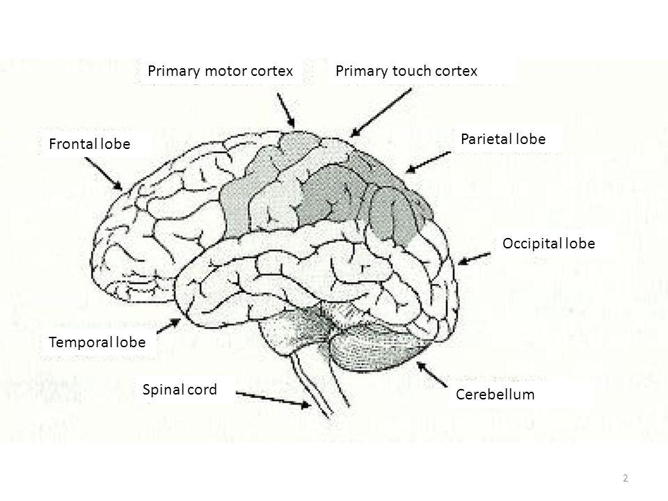 Primary motor cortexPrimary touch cortex Parietal lobe Occipital lobe Cerebellum Spinal cord Temporal lobe Frontal lobe 2