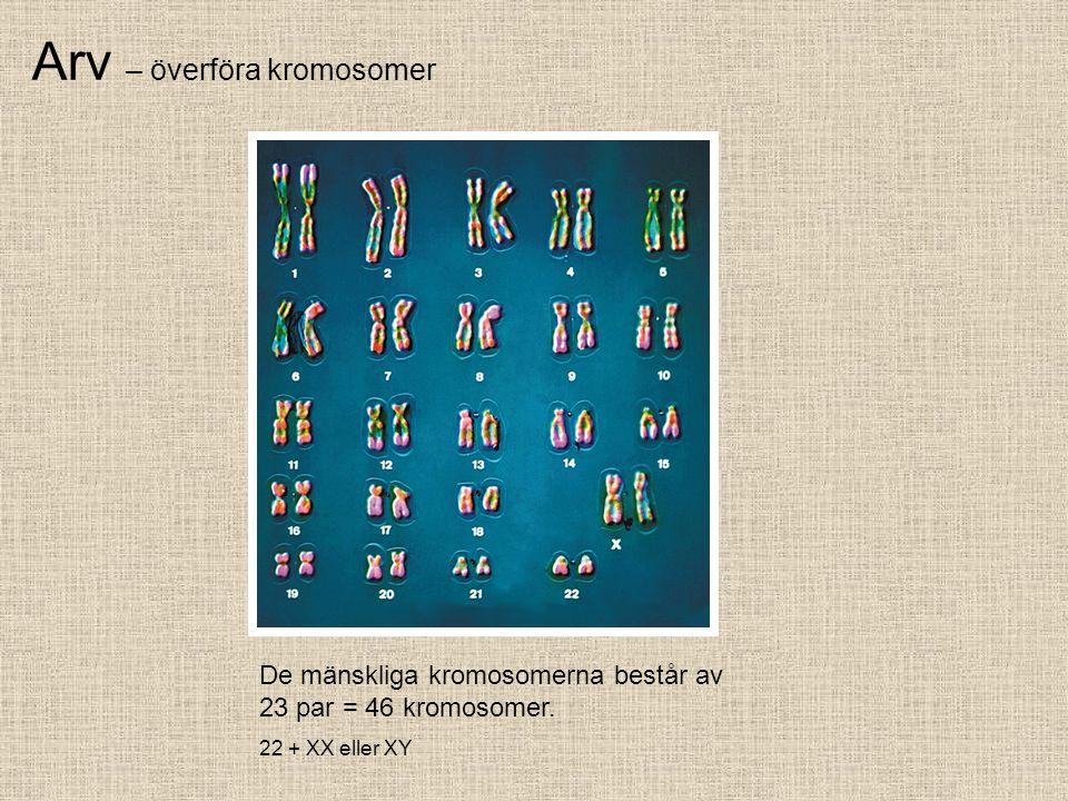 Arv – överföra kromosomer De mänskliga kromosomerna består av 23 par = 46 kromosomer. 22 + XX eller XY
