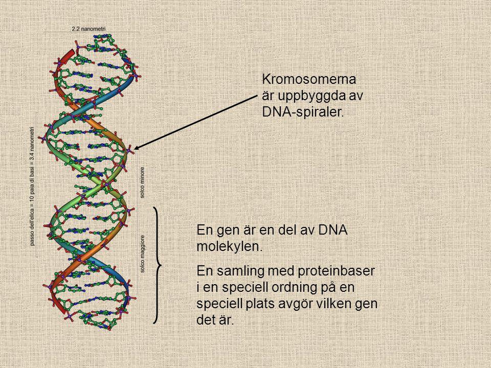 Kromosomerna är uppbyggda av DNA-spiraler.En gen är en del av DNA molekylen.